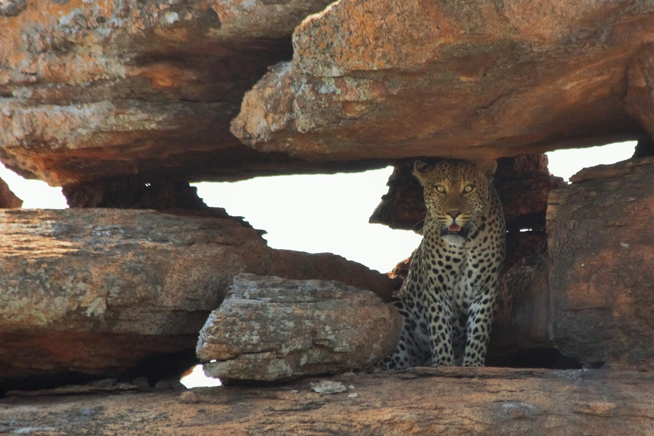 A leopard spotted during Projects Abroad's wildlife conservation volunteering for teenagers in Botswana